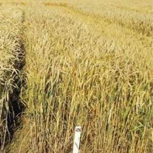 Семена Озимой пшеницы Станичная, Золушка, Лебедь, Девиз.Морозко