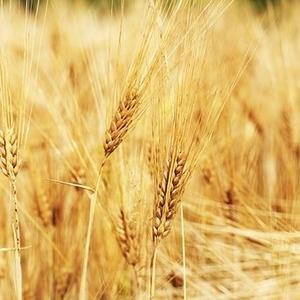 Семена Озимого ячменя Павел