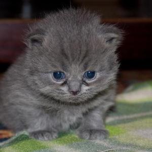 Продаются котята персидские,  не совсем чистокровные