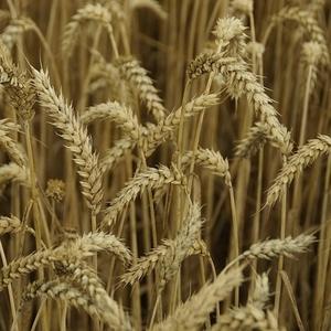 Семена Озимой пшеницы Таня, Юка, Гром